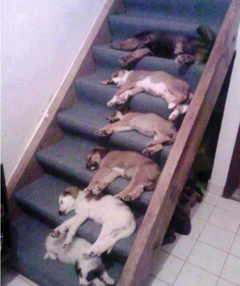 Puppies Sleeping on The Stairs